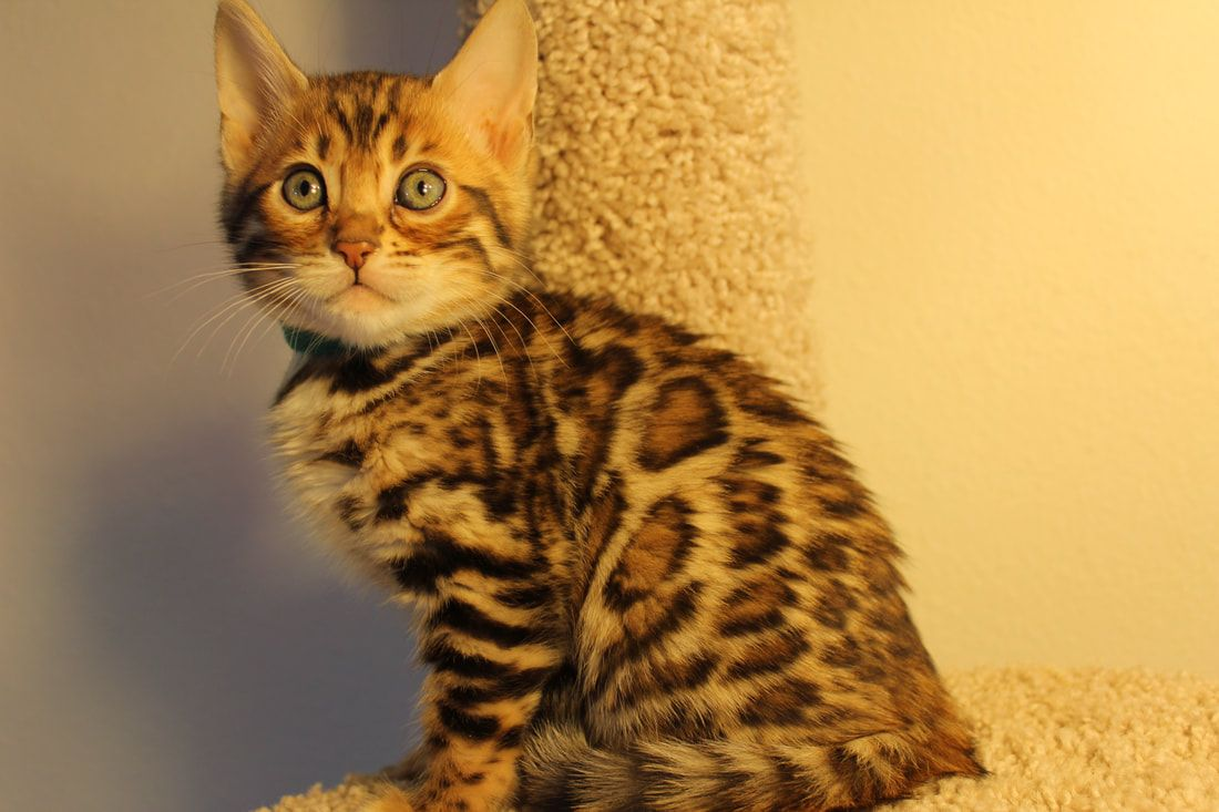 LEOPARD MAGIC BENGALS - KITTENS